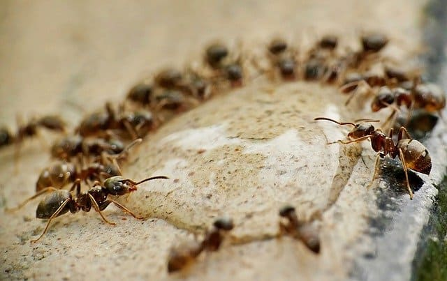 How to Eliminate Ant with Baking Soda and Diatomaceous Earth Method